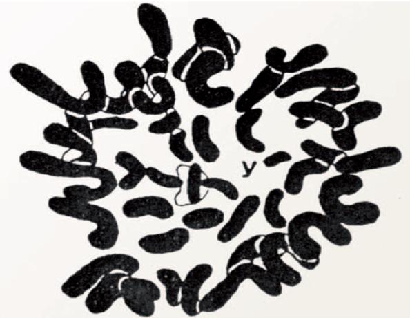 camara lucida painter cromosomas