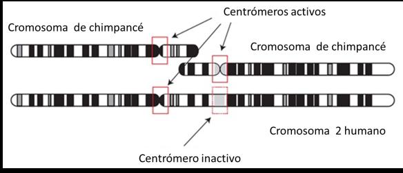 centromeros activos e inactivos en cromosoma humano 2 fusion