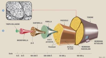 colageno y tendones