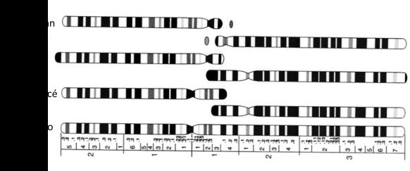cromosoma 2 primates