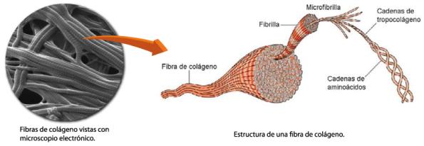 Fibra-de-colageno