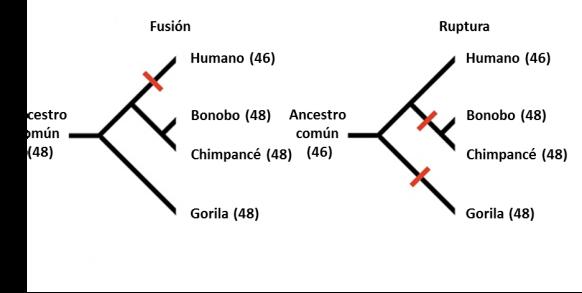 fusion versus ruptura cromosoma 2