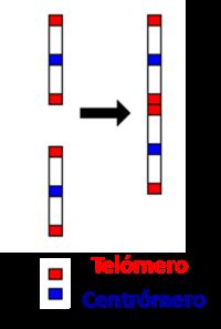 telomeros internos cromosoma 2