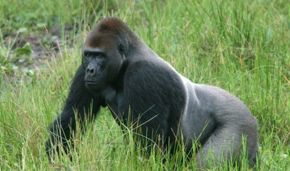gorila-de-espalda-plateada