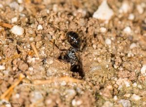 Reina cavando un nuevo hormiguero