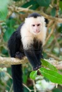 mono-capuchino